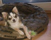 Kleine Chihuahua Hündin