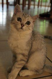 BKH Kitten silber mit Stammbaum