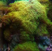 Briareum sp Green Affenhaar auf