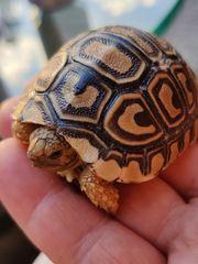 Panther Schildkröte