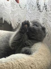 BKH Kitten 1Junge schneeweiß 1