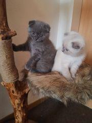 Bkh kitten babykatzen katzenbabys