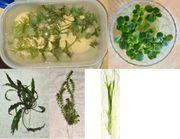 Wasserpflanzen fürs Aquarium aus eigener