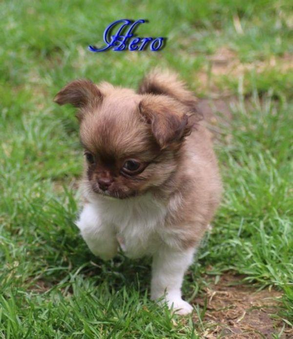 Traumhafte Chihuahua Welpen Langhaar
