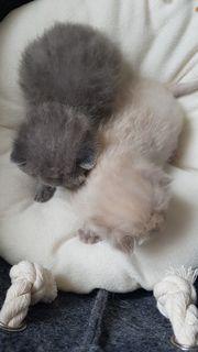 BKH Kitten creme und blue