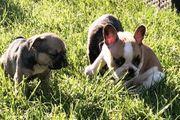 Französische Bulldogge Welpen Hündin mit