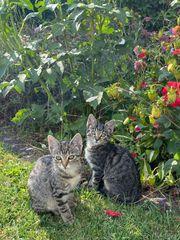 Siam Mix Kitten suchen neues