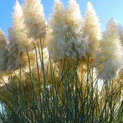 Samen vom Pampasgras weiß
