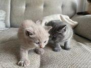 BKH Britisch Kurzhaar Kitten reinrassig