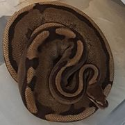 Python Regius Genetic Stripe