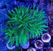 Korallen Korallenableger Ableger LPS SPS
