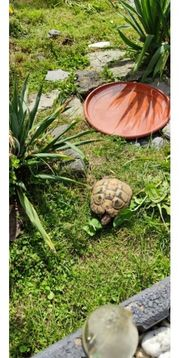 Griechisches Landschildkröten Weibchen