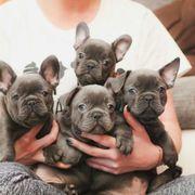 Reinrassig französische Bulldoggen Welpen Blue