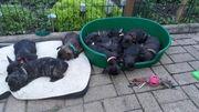 Süße Französische Bulldoggenwelpen abzugeben