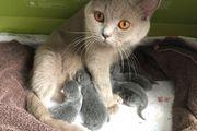 BKH Kitten Reinrassig in Blue