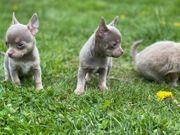 2 Chihuahua Welpen Weibchen suchen