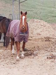 Pferd abzugeben