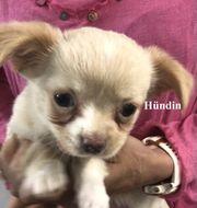 Chihuahua Welpen langhaar abzugeben