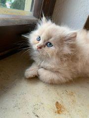 wunderschöne Perser kitten