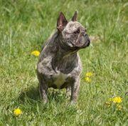 Französische Bulldoggen Dame sucht nette
