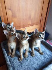 Abessinier Kätzchen