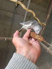 Weisskopf-Nymphensittich Hahn handzahm mit DNA-Geschlechtsbestimmung