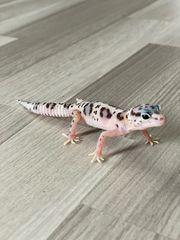 leopardgeckos 2020