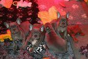 Französische Bulldoggen Welpen lilac