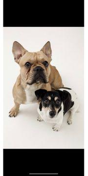 Wurfankündigung Französische Bulldoggen Welpen Juni