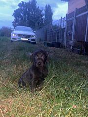 Leoparden Merle schwarze Labrador Welpen