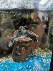 Wasserschildkröte Rotbauchspitzkopfschildkröte