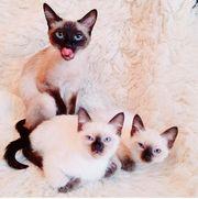 Reinrassige Thai - Siamese Kätzchen