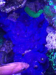 Meerwasser Rhodactis Scheibenanemone Korallen