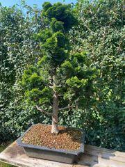 Bonsai - Muschelzypresse ca 40 Jahre