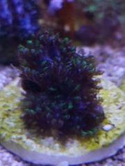 Alcyonium verseveldti Blaue WeichkoralleMeerwasser Korallenableger
