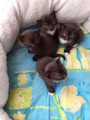 Bkh-mix Kitten zu verkaufen