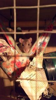 Junge Ratten suchen DRINGEND neues