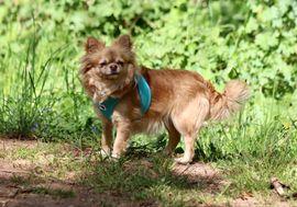 Bild 4 - Chihuahua Welpen mit Ahnentafel - Klausen