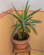 Yucca-Palme 110 cm hoch im
