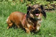 Emilia 4 Jahre - Langhaar-Dackel - Tierhilfe