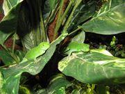 Fidschileguan Brachylophus