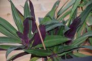 Tradescantia purpurblättrige Dreimasterblume schöne Pflanze