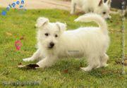 Aufgeweckte West Highland Terrier Welpen