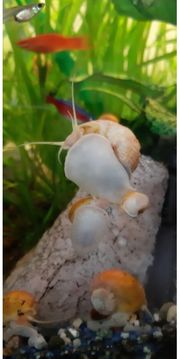 Aquariumschnecken