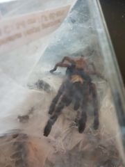 0 1 Chromatopelma fimbriatus