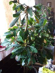 Zimmerpflanze Spuckpalme