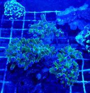 Meerwasser Euphyllia divisa Bi-color pro