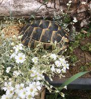 Maurische Landschildkröte- Testudo graeca ibera