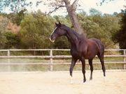 Pferd Stute 7 J roh
