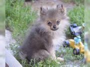 Zwergspitz-Pomeranian Welpe Rüde m P
